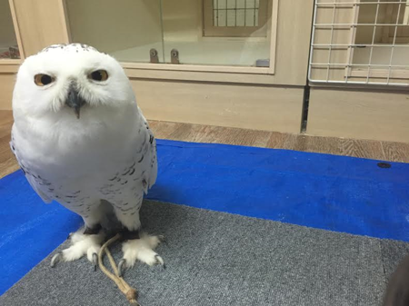 snowly-owl3